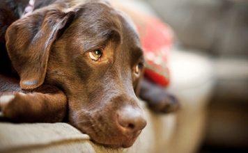 cão ouve tudo