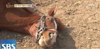 Cavalo finge estar morto