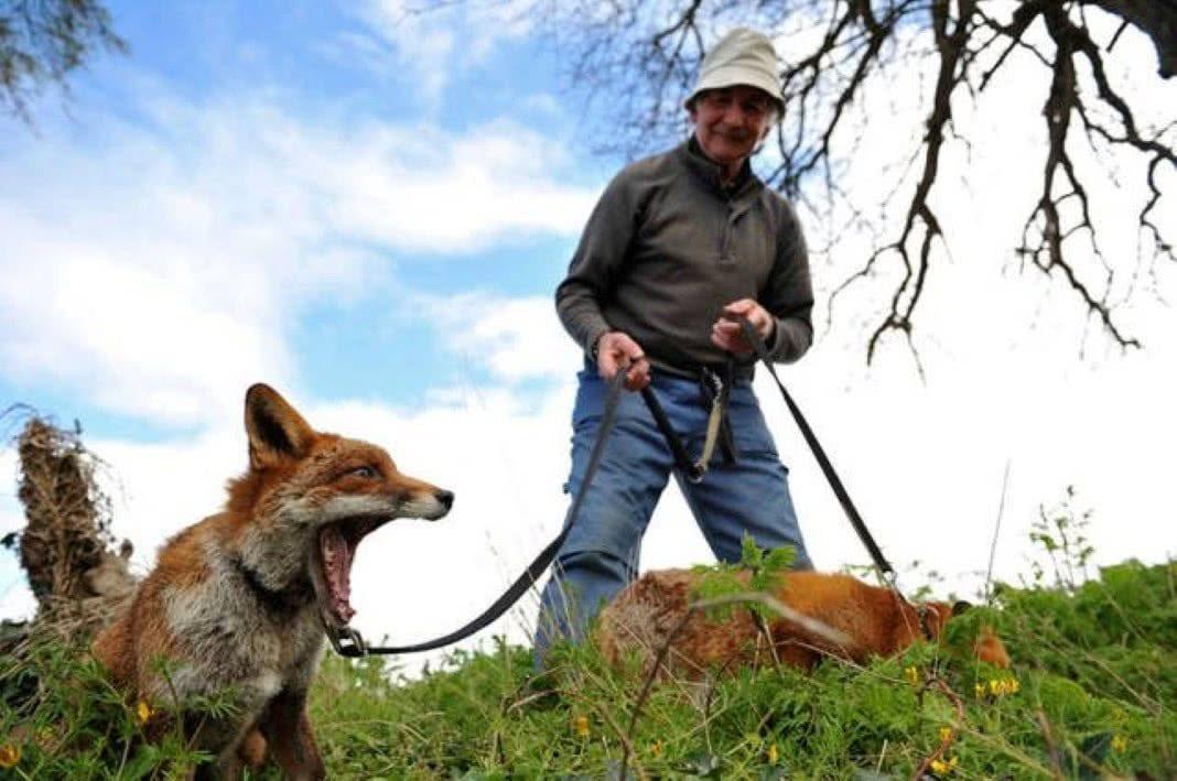 Homem salvou três raposas