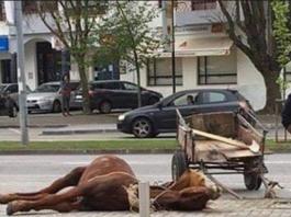 Cavalo cai inanimado por exaustão