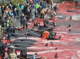 """Nas ilhas Faroé provocam um """"mar de sangue"""""""