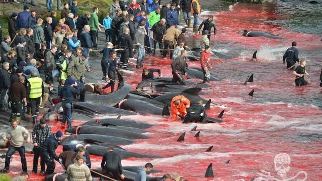 Nas ilhas Faroé provocam um
