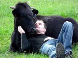 amizade entre um touro e um homem