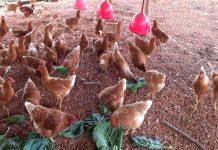 galinhas poedeiras