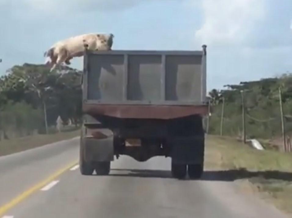 Porco salta de camião em movimento