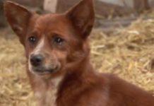Cãozinho chora ao ser separado da vaquinha