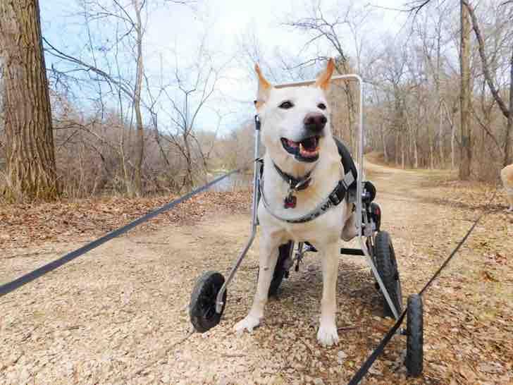 Cadela paralisada foi abandonada acorrentada