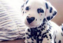 Cão com mancha no nariz