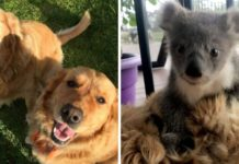 Golden Retriever surpreende donos