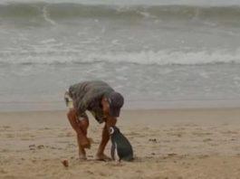Pinguim percorre 8000 km anualmente