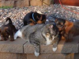 Gato muito paciente deixa matilha de cães