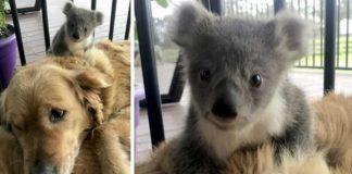 Cadela aparece em casa com coala bebé