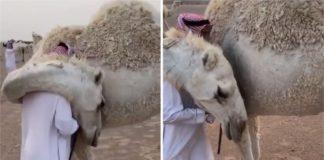 Camelo consola dono que perdeu o filho