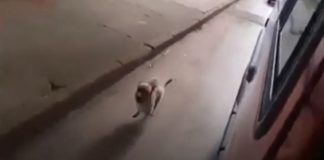 Cão segue ambulância
