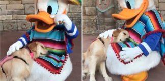 Golden Retriever conhece o Pato Donald