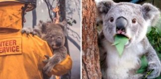 Koala é declarado funcionalmente extinto
