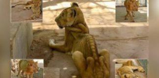 Leões negligenciados e maltratados