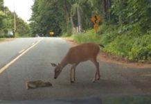 Mãe ajuda bebé bambi