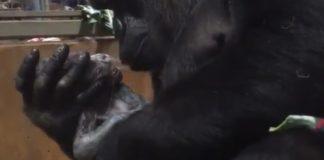 Mãe gorila enche filho de beijos