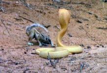 esquilo enfrente cobra gigante