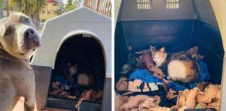Pit Bull abriga gata grávida abandonada