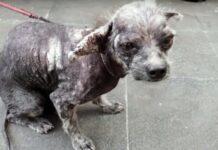 eutanásia para este cão