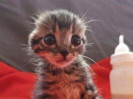 gatinho que teve orelhas cortadas