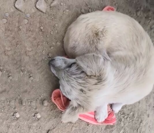 cãozinho é salvo