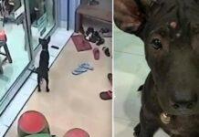 Cãozinho perdido se lembra do caminho para a clínica veterinária e bate na porta para pedir ajuda