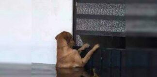Cão abandonado volta para casa inundada