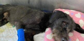 salvar cachorro paraplégico