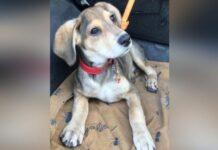 Cãozinho surdo é abandonado amarrado em um poste com um bilhete